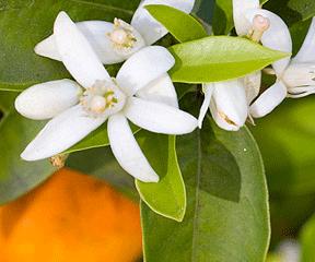 Neroli_Flower_Blossom